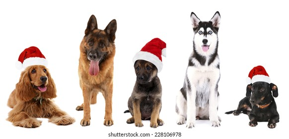 Dogs in Santa Claus hat isolated on white