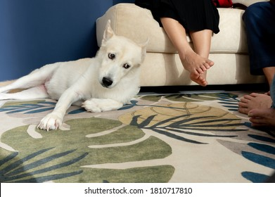 Hunde: Funny aussehender weißer Hund, stellt glühende Füße dar