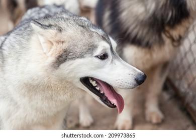 Dogs, Siberian