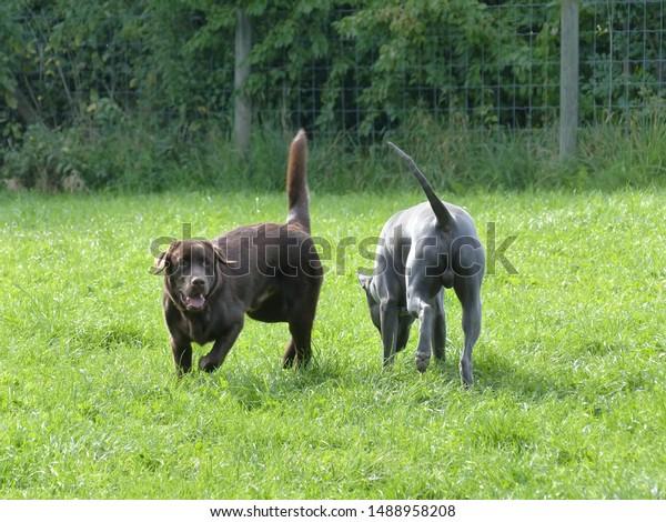 ridgeback labrador