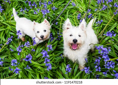 Dogs in spring flowers: west highland terrier westies in bluebells at Rolands Wood dog park, Kerikeri, Northland, New Zealand, NZ