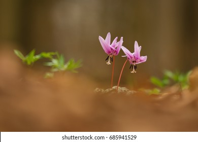 Dog's tooth violet, Erythronium dens-canis, blooming in a spring forest under the trees. Viloet flowers of lily. Beautiful endemic plant of middle europe, MAuve-pink flowers and green eliptic leaves.