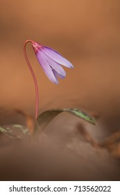 Dog's tooth violet, Erythronium dens-canis, blooming in a spring forest under the trees. Violet flowers of lily. Beautiful endemic plant of middle europe, Mauve-pink flowers and green eliptic leaves.