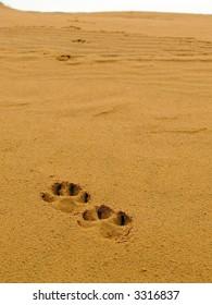 Dog's tracks in desert