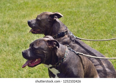 Dogs Two Pitt Bulls at park.