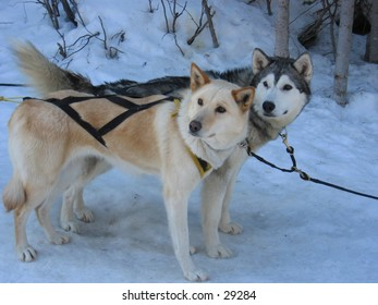 Dogs waiting to pull sleds.