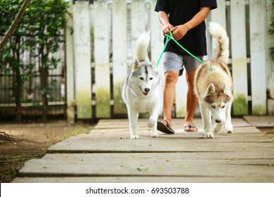 Dogs walk together in leash with owner in the park, Both of Siberian Husky with owner