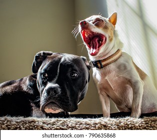 Dogs Yawning and Relaxing