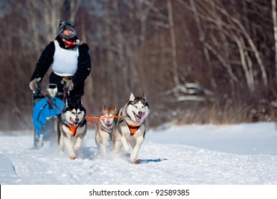 Dogsled Competition, focus on the first dog