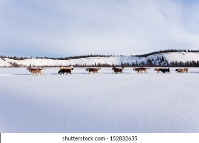 Dogsled team of siberian huskies out mushing on snow pulling a sled that is out of frame through a winter landscape