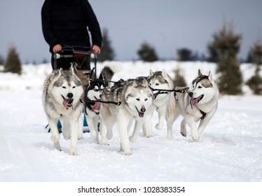 Dog-sledding with huskies