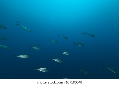 Dogtooth tuna in the Red Sea.