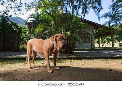 A Dogue de Bordeaux dog guards the house.