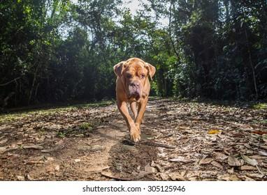 A Dogue de Bordeaux dog patrols the driveway.