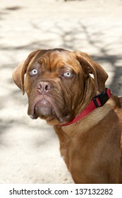 Dogue de Bordeaux - French Mastiff Puppy Head Profile