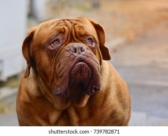 Dogue de Bordeaux - French mastiff - Beautiful big dog
