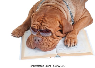 dogue de bordeaux with glasses sleeping over a book