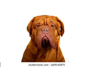 Dogue de Bordeaux, Bordeaux mastiff, French mastiff or Bordeauxdog is a large French mastiff breed, portrait isolated on white background