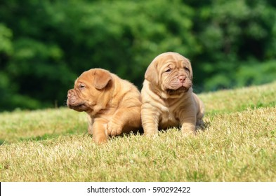 Dogue de Bordeaux outdoors in a meadow, dog puppy.