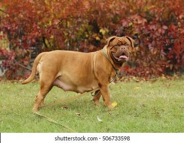 Dogue de Bordeaux - Pregnant female - 58 days