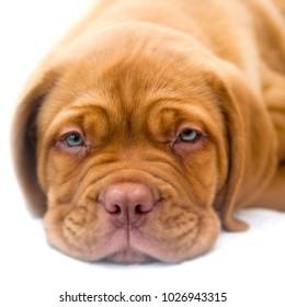 Dogue de Bordeaux puppy 10 weeks old