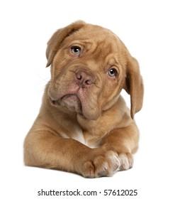 Dogue de 波尔多小狗,10 周大,躺在白色背景前