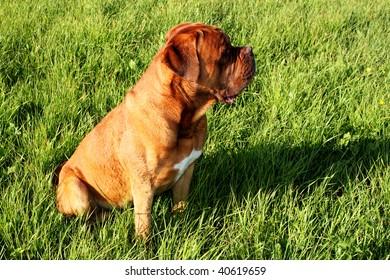 dogue de bordeaux sitting on the grass