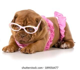 dogue de bordeaux wearing pink bikini and glasses