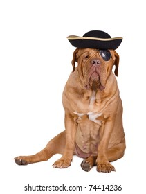 Dogue de bordeaux wearing a pirate costume with pirate black and gold hat and eye patch