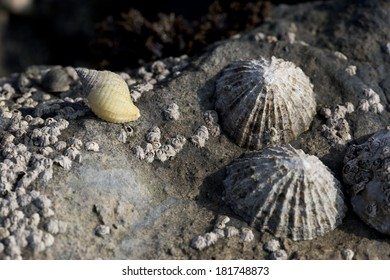 Dogwhelk, barnacles and limpets on a rock at Osmington Mills, Dorset, UK.