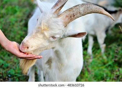 Dogwood berries goat eating from the hand of the farmer