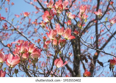 Dogwood blooming in spring in Japan