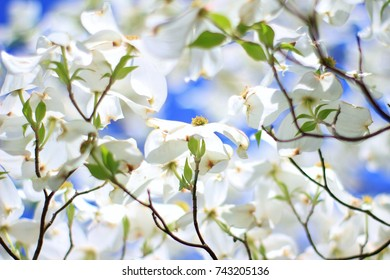 Dogwood Blossom Images Stock Photos Vectors Shutterstock