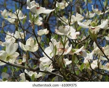 Dogwood blossoms in Georgia