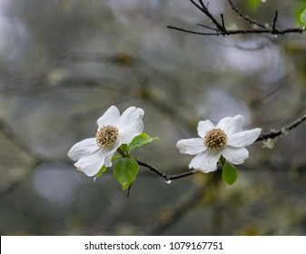 Dogwood blossoms on rainy spring day in Tacoma Washington State in the Puget Sound region of the Pacific Northwest i=of the USA on the American continent