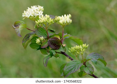 Dogwood - Cornus sanguineaBranch with flowers & leaves