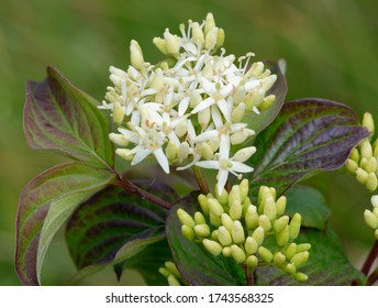 Dogwood - Cornus sanguineaCloseup of flowers and leaves
