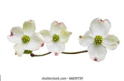 Dogwood flowers with clipping path.