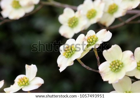 Dogwood flowers photograph white springtime dogwood stock photo dogwood flowers photograph of white springtime dogwood tree flowers selective focus on the center mightylinksfo