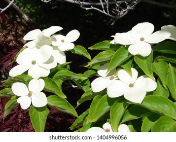 dogwood flowers, white with green leaves, close up