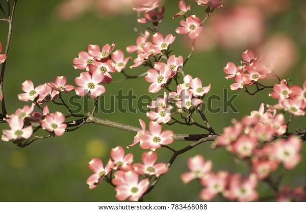 dogwood landscape spring