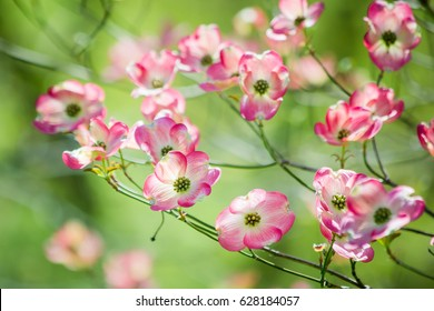 Royalty Free Dogwood Tree Images Stock Photos Vectors Shutterstock