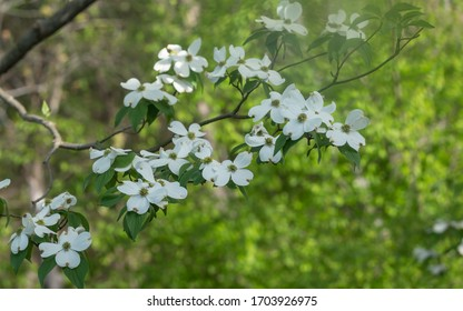 A dogwood tree in full bloom with bokeh background.