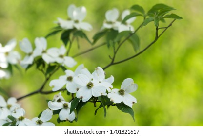 A dogwood tree loaded with blooms makes a beautiful background.