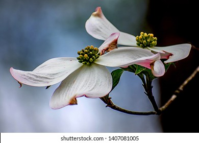 Dogwood tree white flower closeup on blue gradient background.