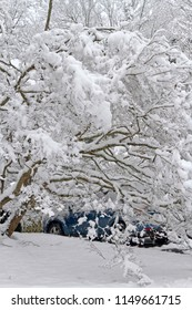 A dogwood tree's branches heavily laden with snow lie heavily on top of a car roof covering it in wintertime