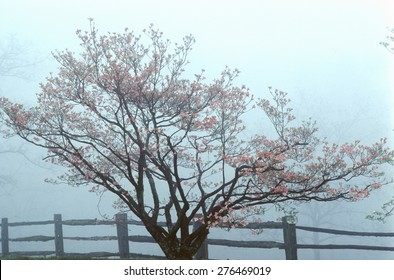 Dogwoods and split rail fence in spring fog, Monticello, Charlottesville, VA