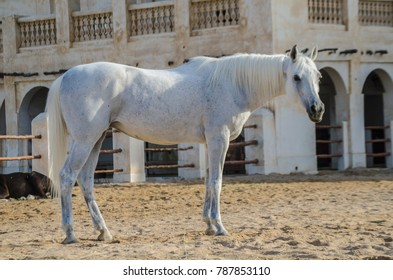 DOHA, QATAR - JANUARY 05, 2018: Arabian horse. The traditional stable behind Souq Waqif, Market place in Doha, Qatar, Middle-East.