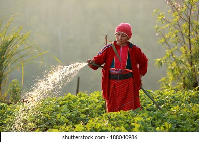 Doi Ang Khang,Chaing mai , Thailand, Paluang woman in Strawberry Field on December 23, 2013. The Palaung people traveling from Burma to Thailand under the umbrella of the Royal Optisompar.
