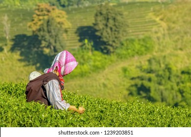 Doi Mae Salong, Chiang Rai -THAILAND, Nov. 20, 2011 : Rai Cha 101, view morning of a Karen woman with her baby picking tea leaves in Tea plantation on the hill with green nature background.